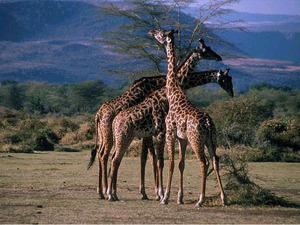 Обои Жирафы