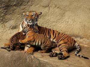 Обои Тигрица и тигрята