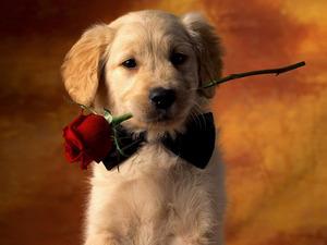 Обои Собачка с розой