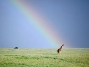 Обои Жираф и радуга