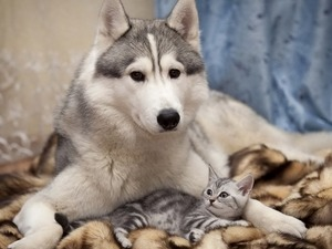 Обои Лайка и серый котёнок
