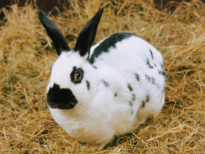 Обои Чёрно-белый кролик