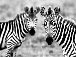 Обои Зебры