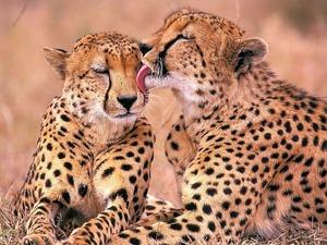 Обои Гепарды