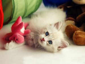 Обои Белый котенок