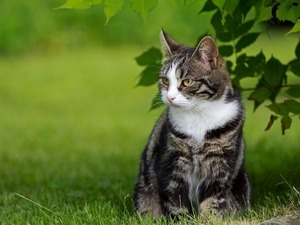 Обои Кот на лужайке