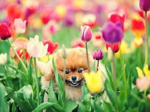 Обои Шпиц в тюльпанах