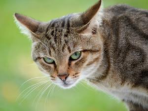 Обои Внимательный кот