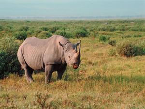 Обои Носорог
