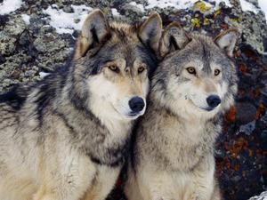 Обои Волки
