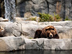 Обои Скучающий медведь