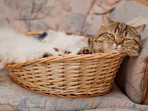 Обои Два кота в корзине