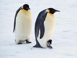 Обои Императорские пингвины