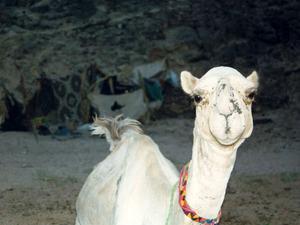 Обои Верблюд