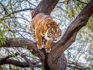 Обои Тигр перед прыжком