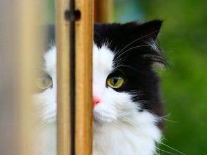 Обои Чёрно-белый кот