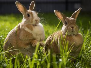 Обои Кролики