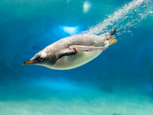 Обои Пингвин-ныряльщик