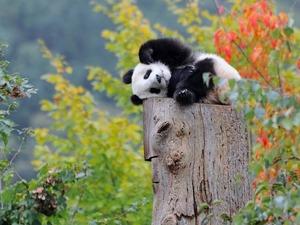Обои Панда