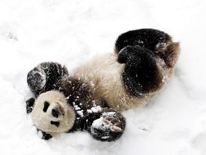 Обои Снежная панда