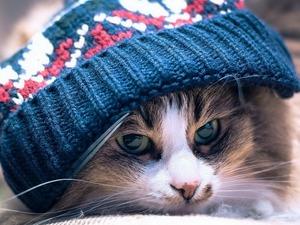 Обои Кот в шапке