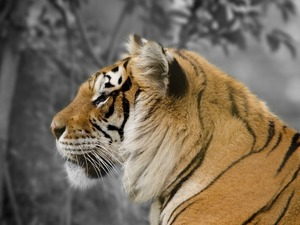 Обои Тигр