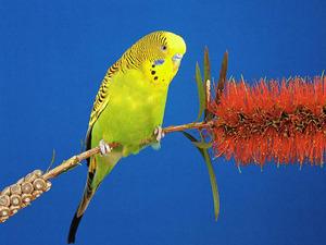 Обои Волнистый попугайчик