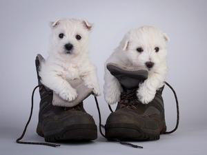 Обои Щенята в ботинках
