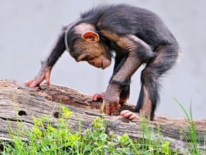 Обои Шимпанзе