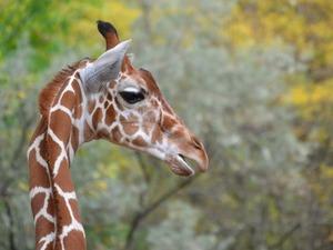 Обои Жираф