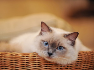 Обои Сиамский кот