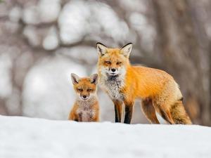 Обои Лиса с лисёнком
