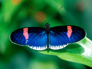 Обои Бабочка