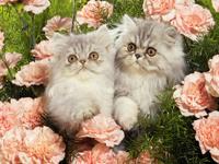 Обои для рабочего стола: Два котёнка