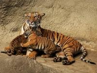 Обои для рабочего стола: Тигрица и тигрята