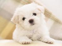 Обои для рабочего стола: Белый щенок