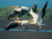 Обои для рабочего стола: Три пеликана