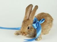 Обои для рабочего стола: Кролик с бантиком