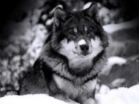 Обои для рабочего стола: Волк
