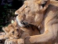 Обои для рабочего стола: Львица и львёнок