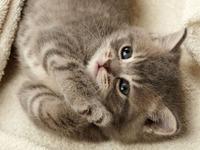 Обои для рабочего стола: Серый котенок