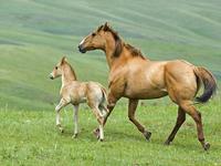 Обои для рабочего стола: Лошадь и жеребёнок