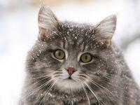 Обои для рабочего стола: Зимний кот