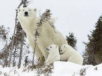 Обои для рабочего стола: Семья белых медведей