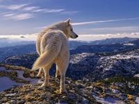 Обои для рабочего стола: Полярный волк