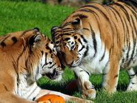 Обои для рабочего стола: Тигры