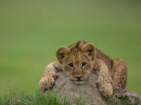 Обои для рабочего стола: Львёнок