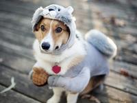 Обои для рабочего стола: Пёсик в костюме