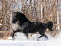 Обои для рабочего стола: Чёрный конь