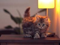 Обои для рабочего стола: Пушистый котёнок